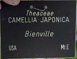 Camellia japonica 'Bienville'