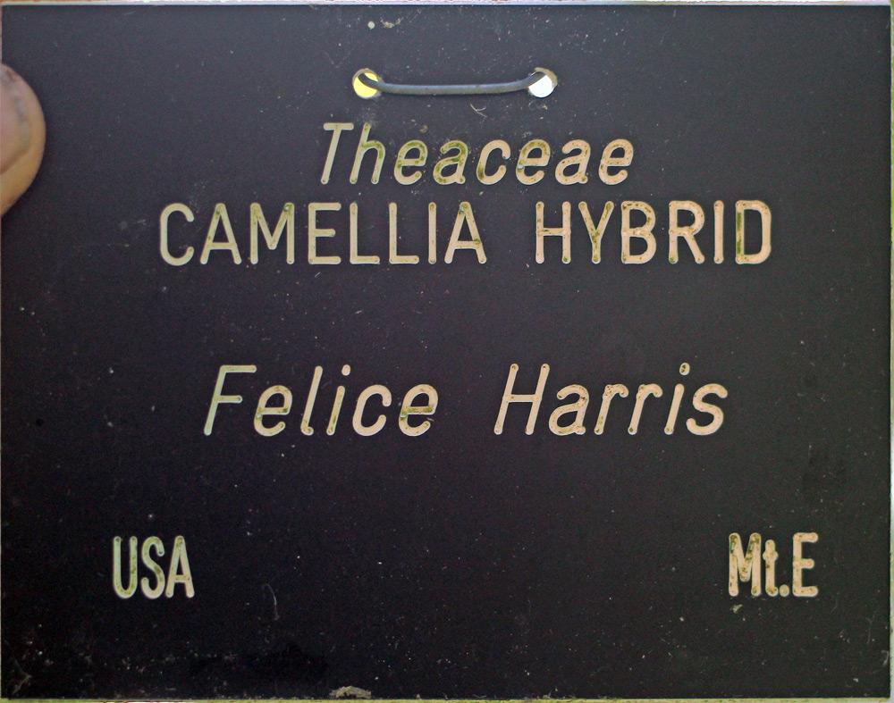 Camellia x williamsii 'Felice Harris'