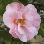 Camellia x williamsii 'Felice Harris'
