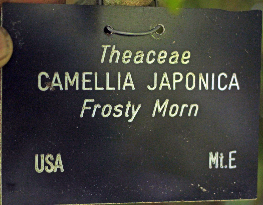 Camellia japonica 'Frosty Morn'