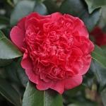 Camellia japonica 'Little Bit Red'