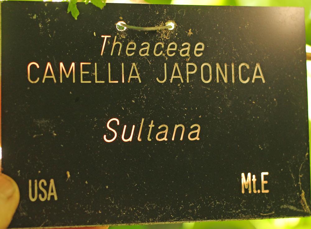 Camellia japonica 'Sultana' (1B-013) – Jim's Camellias
