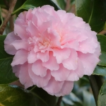 Camellia japonica 'Sweetheart'
