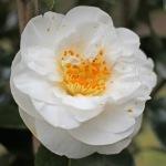Camellia japonica 'Elizabeth Dowd