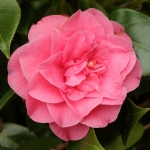 Camellia japonica 'Betty Sheffield Supreme'