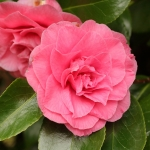Camellia japonica 'Betty Sheffield Supreme'
