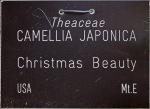 Camellia japonica 'Christmas Beauty'