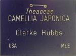 Camellia japonica 'Clark Hubbs'