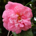 Camellia japonica 'Coral Pink Lotus'