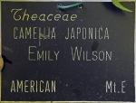 Camellia japonica 'Emily Wilson'