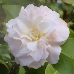 Camellia japonica 'Emily Wilson'