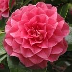 Camellia japonica 'General George Patton'