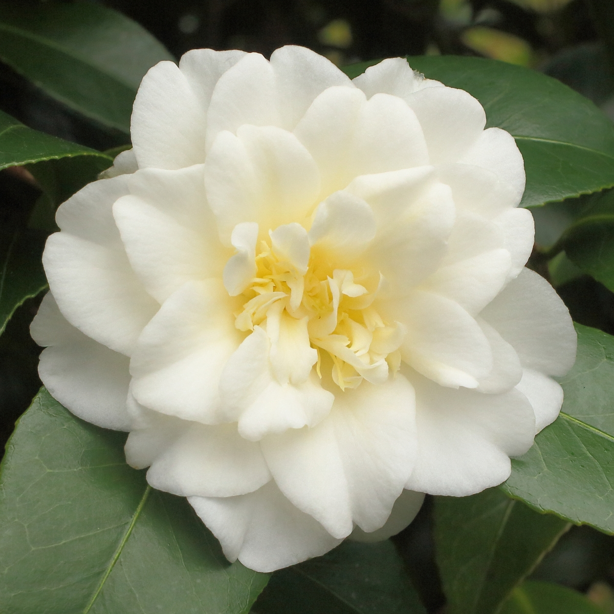 Camellia japonica 'Golden Tone'