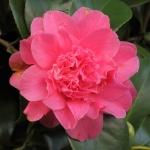 Camellia japonica 'Her Majesty Queen Elizabeth II'
