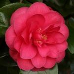 Camellia japonica 'King Size'