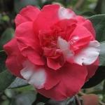 Camellia japonica 'Lady Vere de Vere'
