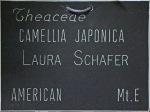 Camellia japonica 'Laura Schafer'