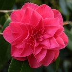 Camellia japonica 'Lieutenant William Hearn'