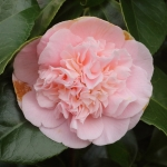 Camellia japonica 'Magic Moments'