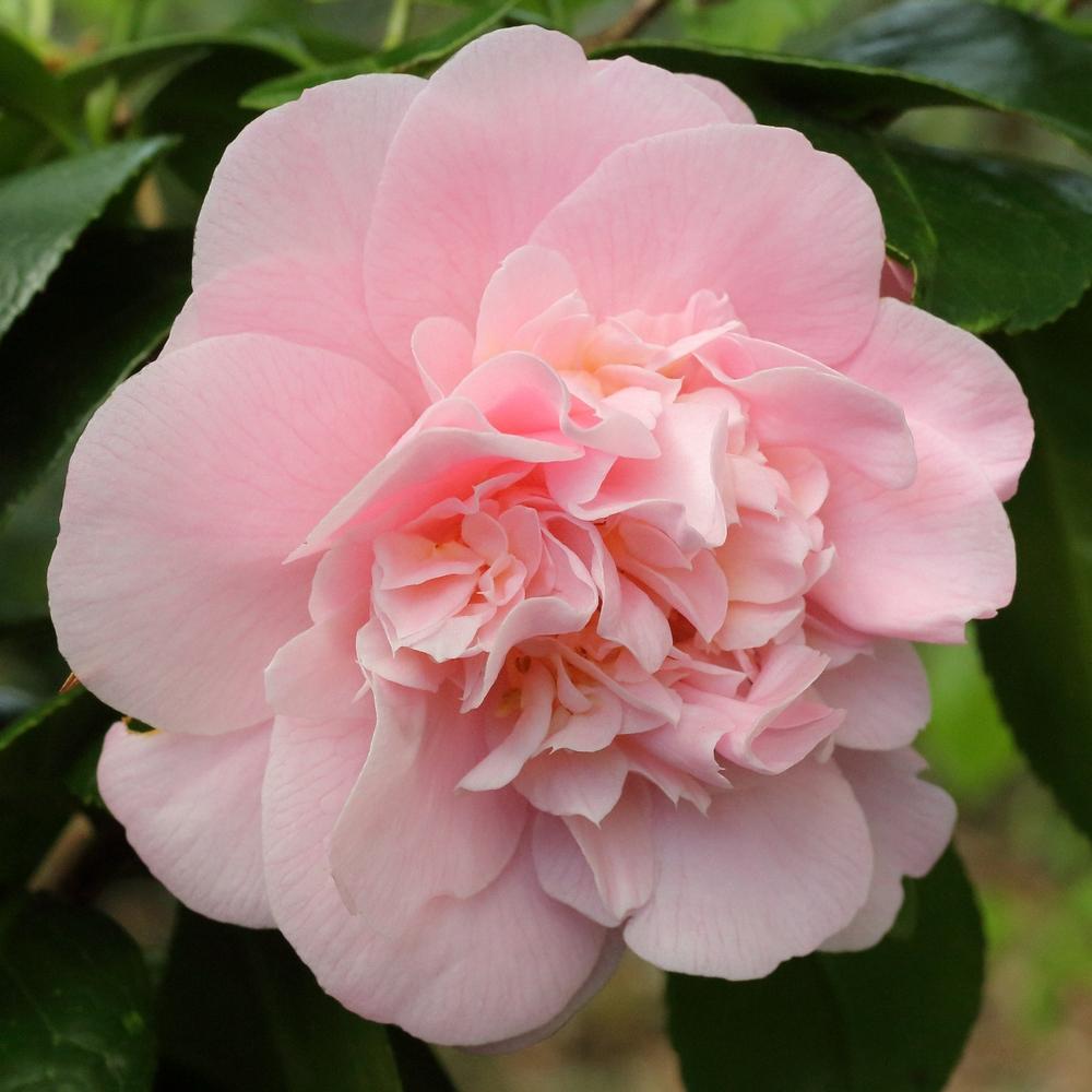 Camellia japonica 'Magic Moments'