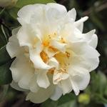 Camellia japonica 'Onetia Holland'