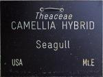 Camellia hybrid 'Sea Gull'