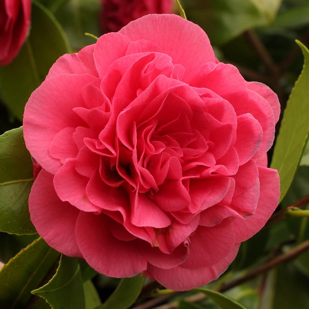 Camellia japonica 'Tomorrow'