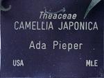 Camellia japonica 'Ada Pieper'