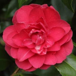 Camellia japonica 'Anne Smith'