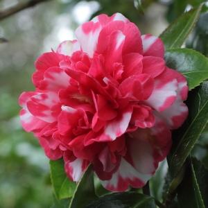 Camellia japonica 'Beau Harp'