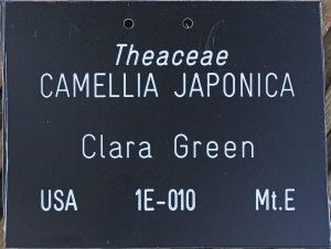 Camellia japonica Clara Green'