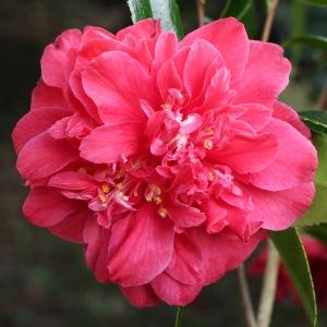 Camellia japonica 'Clarise Carleton'