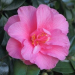 Camellia x williamsii 'Contribution'