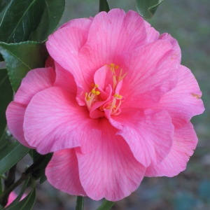 Camellia x williamsii 'Contribution'