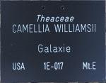 Camellia x williamsii 'Galaxie'