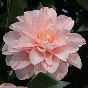Camellia japonica 'Kick-Off'