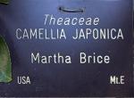 Camellia japonica 'Martha Brice'