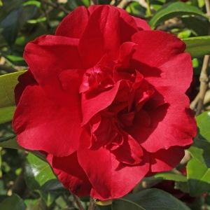 Camellia japonica 'Midnight'