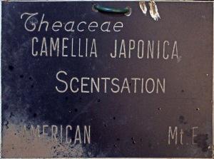 Camellia japonica 'Scentsation'