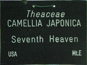 Camellia japonica 'Seventh Heaven'