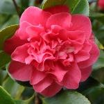 Camellia japonica 'Tiki'