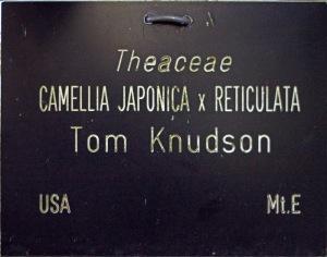 Camellia japonica 'Tom Knudsen'