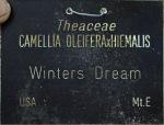 Camellia 'Winter's Dream'