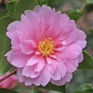 Camellia hybrid 'Winter's Rose'