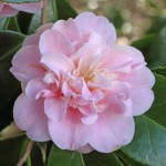 Camellia japonica 'Belle of the Ball'