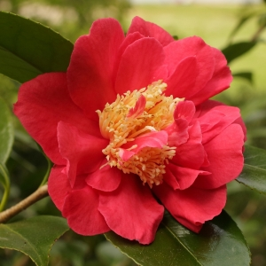 Camellia japonica 'Blood of China'