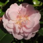 Camellia japonica 'Cara Mia'