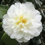 Camellia japonica 'Dear Jenny'