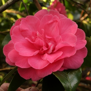 Camellia japonica 'Disneyland'
