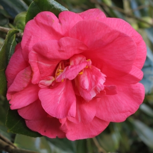 Camellia japonica 'Drama Girl'